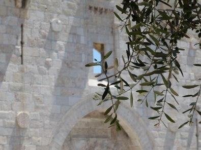 olive-tree-next-to-damscus-gate-3