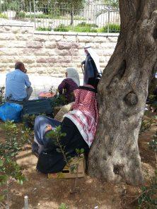 olive-tree-next-to-damscus-gate-5