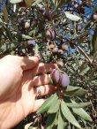 olives-ready-to-harvest-november