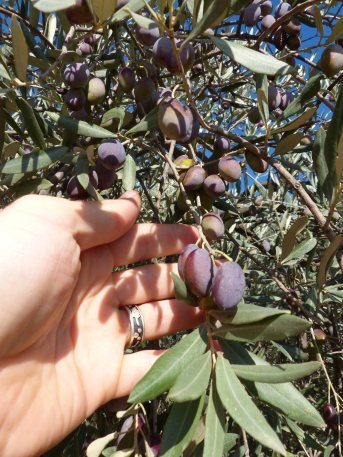 olives-ready-to-harvest-november