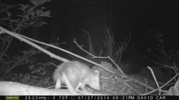 opossum-on-log