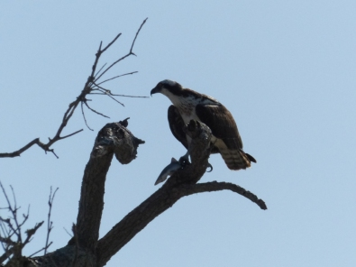 osprey-on-boneyard-tree-in-front-of-palm