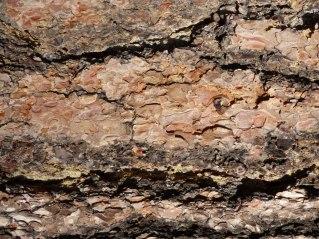 ponderosa-bark