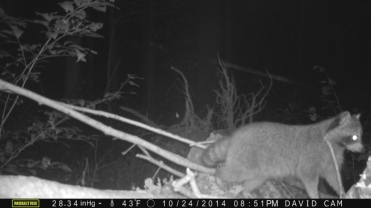 raccoon-on-log