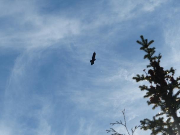 raven-over-fir-crown