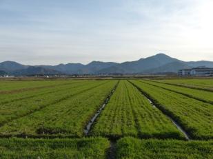 rice-on-walk-back-from-kawakami-gozen-shrine