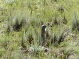 richardsons-ground-squirrel-at-florissant