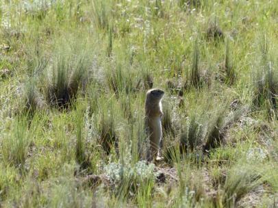 richardsons-ground-squirrel-at-florissant