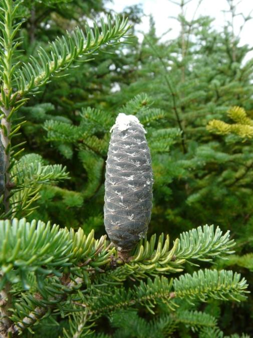 ripening-cone