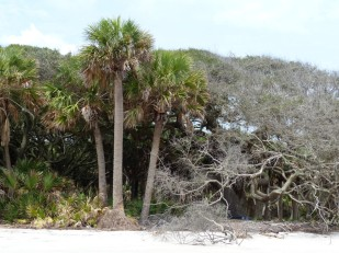 sabal-palm-center-of-three
