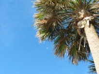 sabal-palm-crown