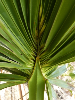 sabal-palm-frond