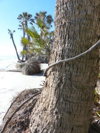 sabal-palm-trunk