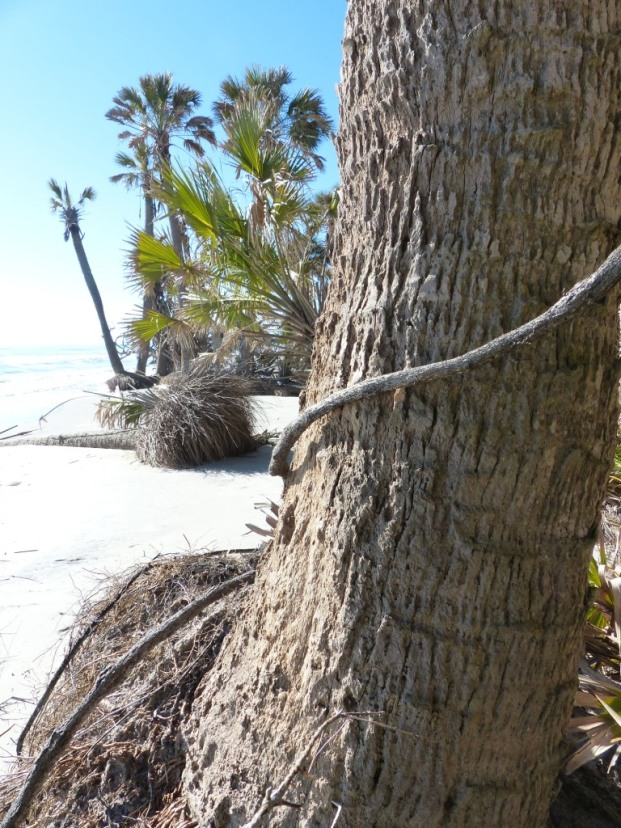 sabal-palm-trunk