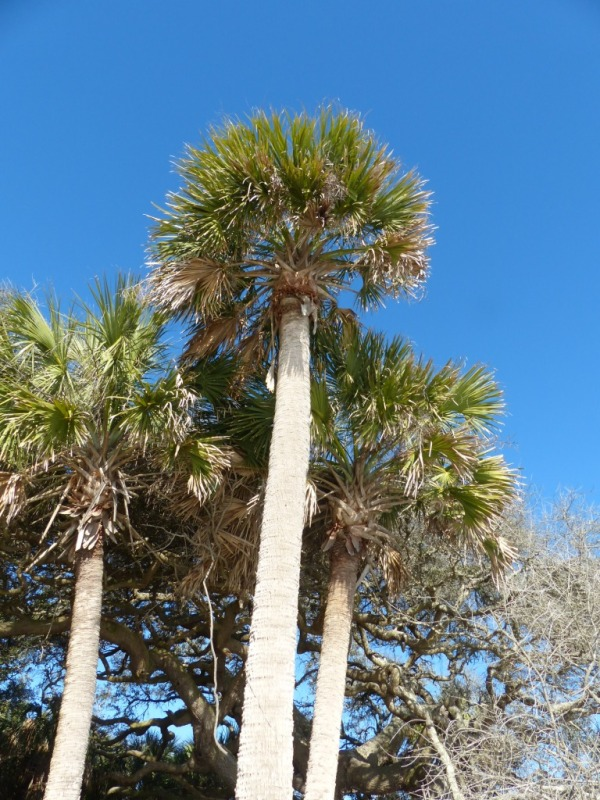 sabal-palm