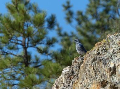 the-big-stump-with-bluebird
