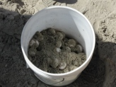turtle-eggs-ready-for-transport