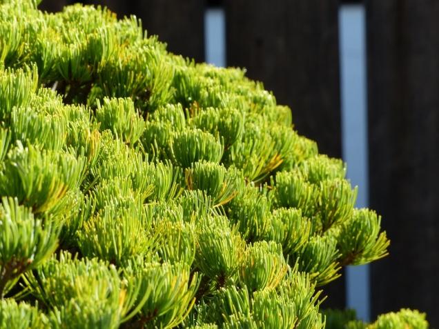 yamaki-pine-in-washington-dc-2