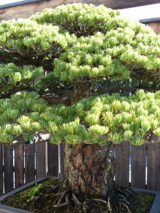 yamaki-pine-in-washington-dc-3