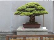 yamaki-pine-in-washington-dc-4