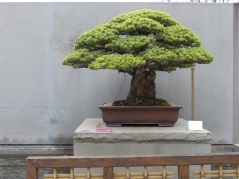 yamaki-pine-in-washington-dc-4