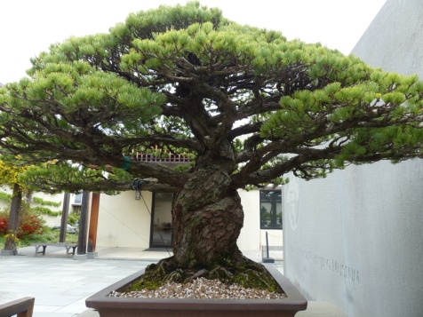 yamaki-pine-in-washington-dc-5