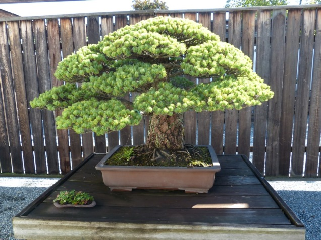 yamaki-pine-in-washington-dc