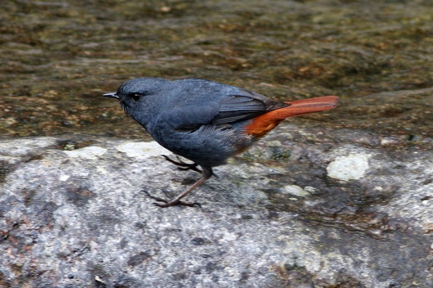 Plumbeous water redstart. These birds cling to rocks in streams, then fly up over the water to snatch insects from the air. Member of the Old World flyctacher family. Photo by Ron Knight, Creative Commons copyright 2.0.