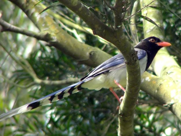 Red-billed blue magpie. Photo by Charles Lam, Hong Kong. Creative Commons copyright 2.0.